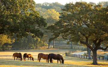 horses grazing on land in Texas with a winding road, trees, and fences